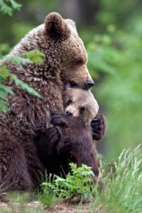 mama-bear-is-hugging-her-cub[1]